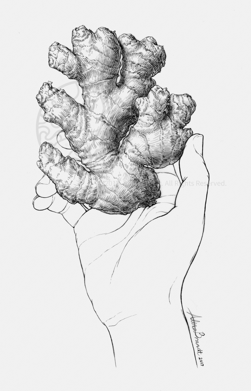 Ginger root pen and ink illustration
