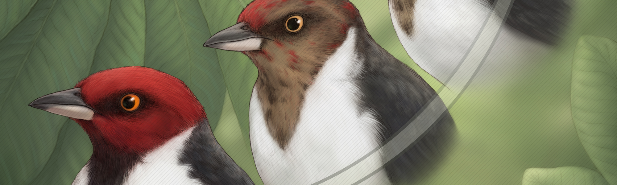 Red-capped cardinals banner