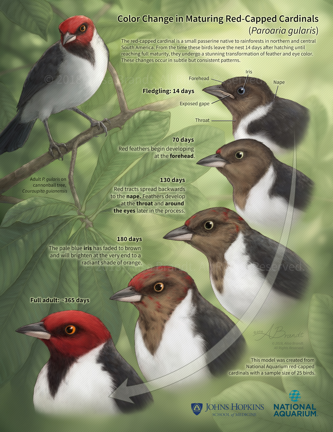 Red-capped cardinals poster
