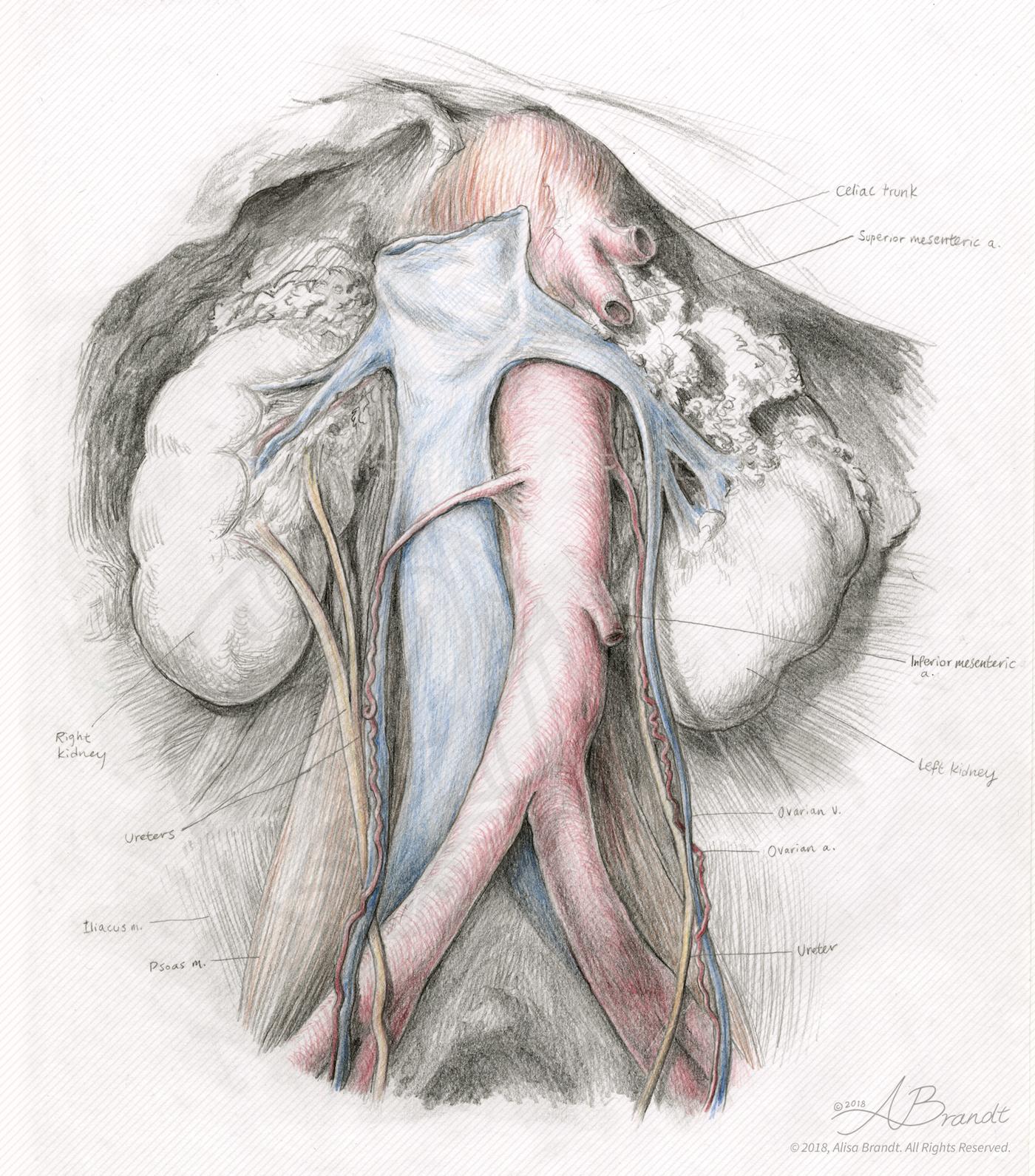 Anatomical sketch of kidneys