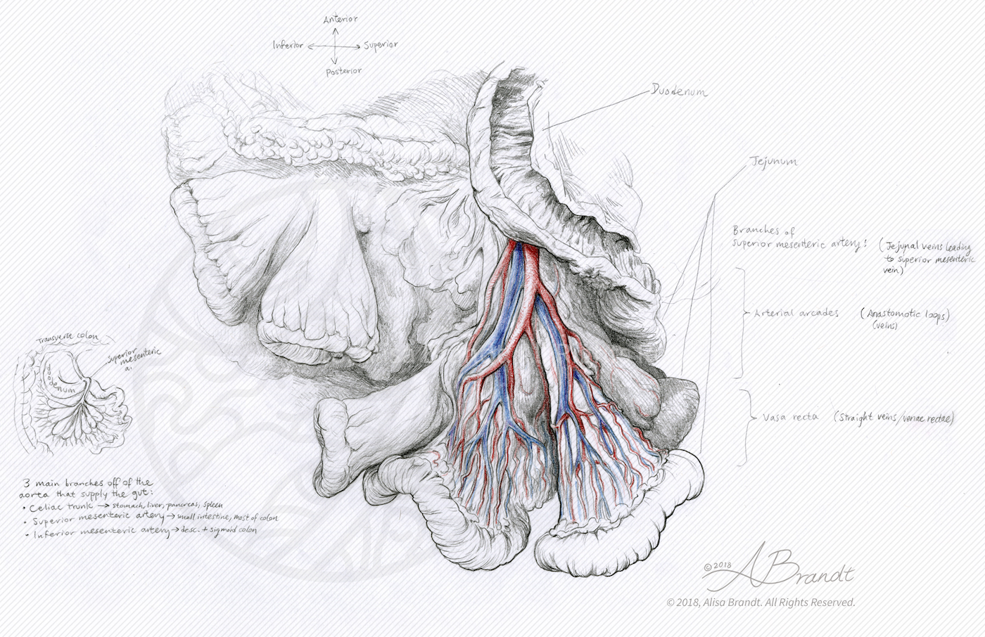 Anatomical sketch of mesentery