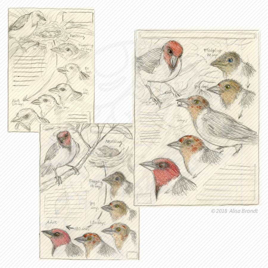 Red-capped cardinal thumbnail sketches