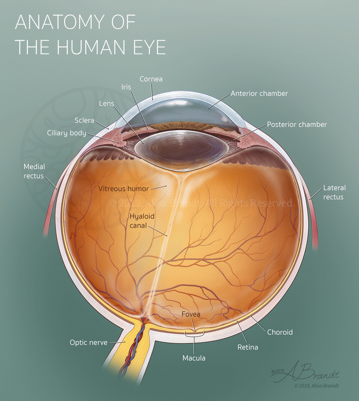 Anatomical illustration of right eye cross-section © 2019 Alisa Brandt